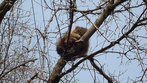 Raccoon asleep in tree