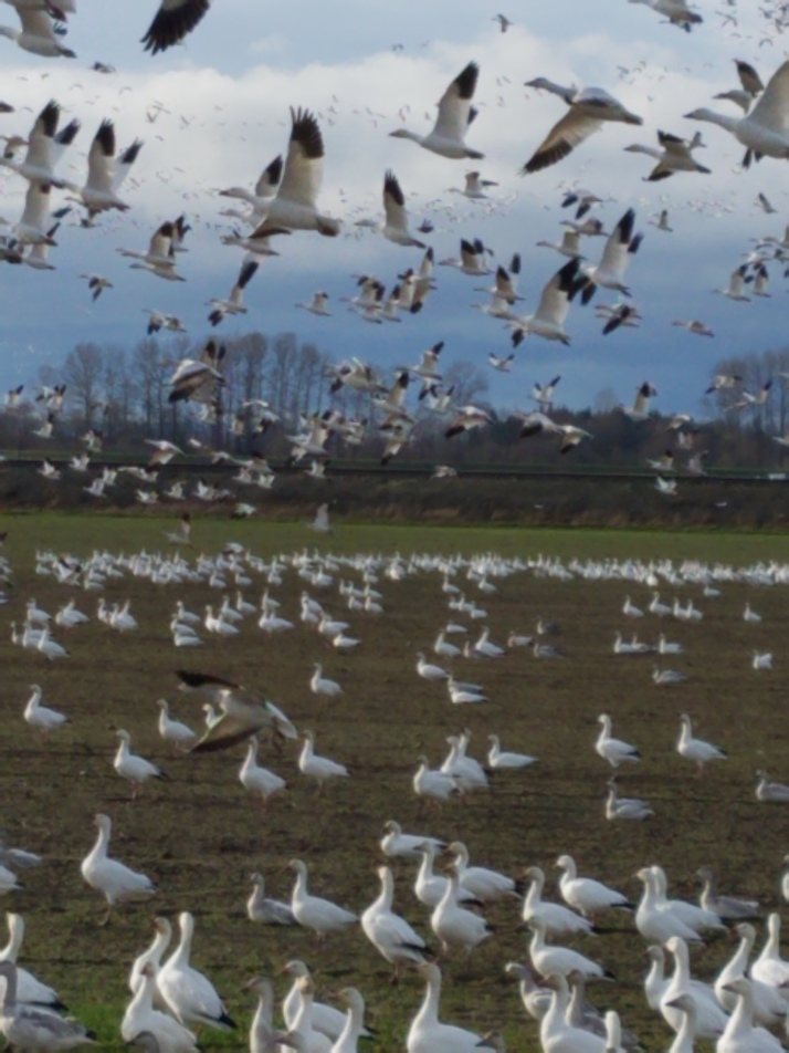 snow geese mass ascension