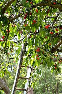 ladder in cherry orchard