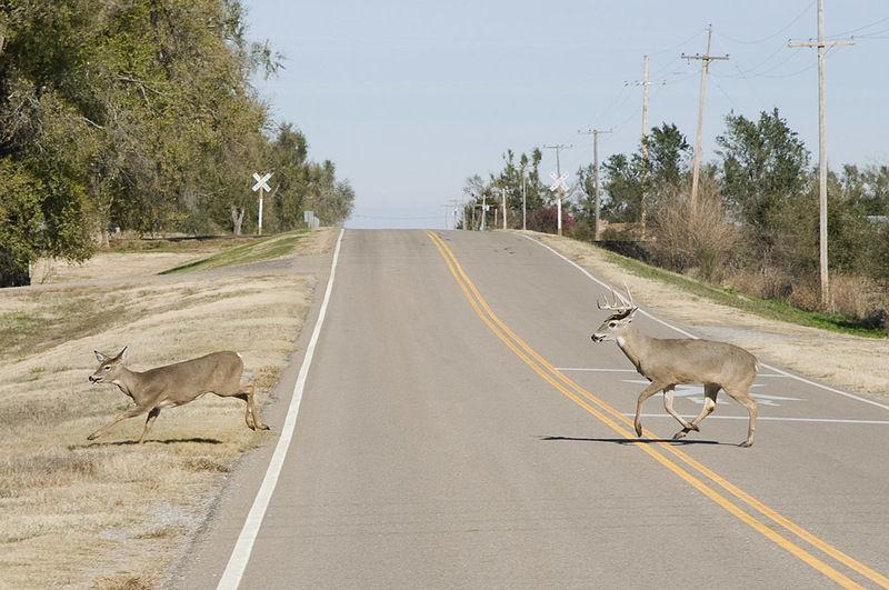 deer on road.jpg