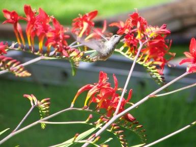 hummingbird 2011 003